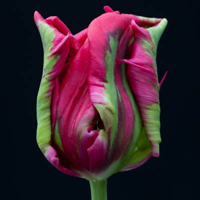 Trial Tulip no.4
