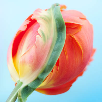 Parrot Tulip 'Orange Favourite'