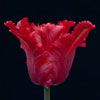 Trial Tulip no.5